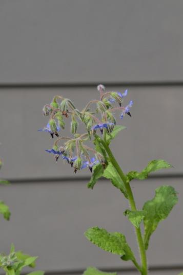 "Borage ""Star-Flower"" (www.mincedblog.com)"