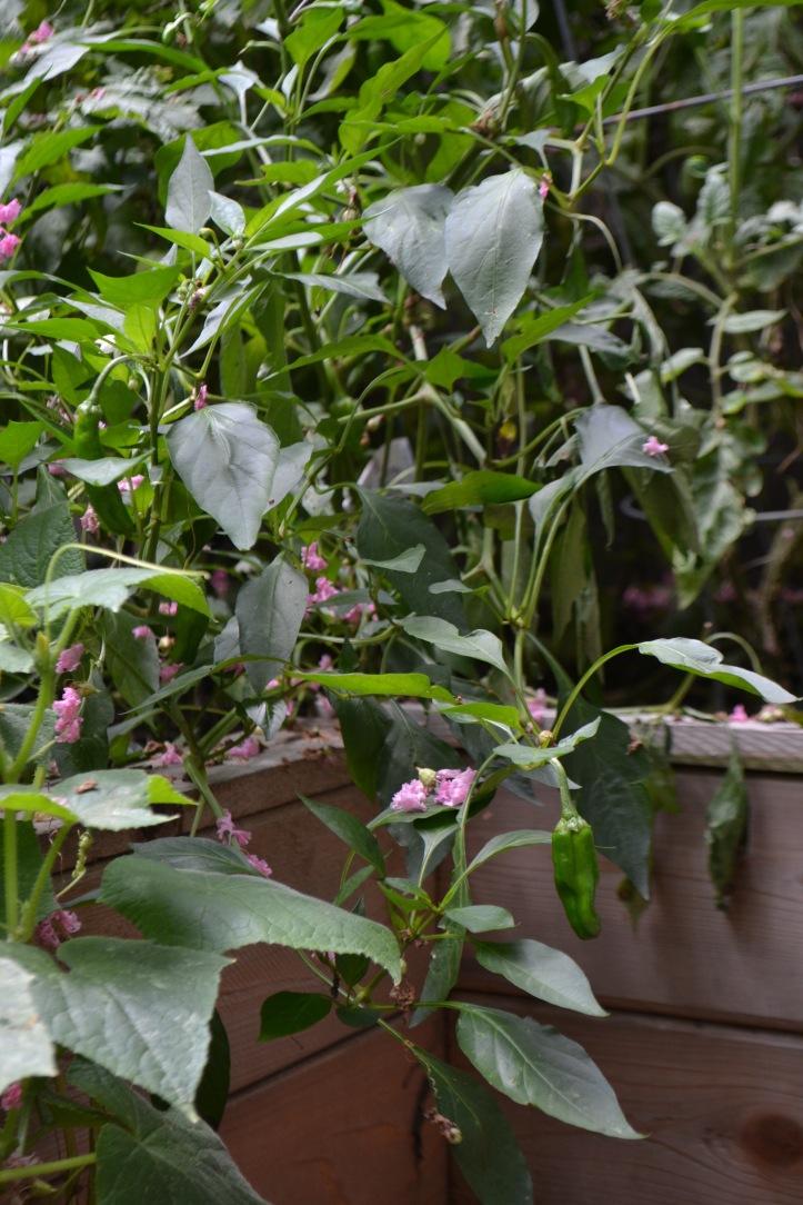 Shishito Pepper Plant (www.mincedblog.com)